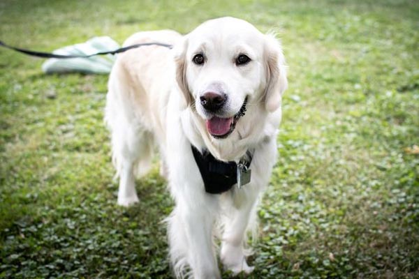 Meisha, the golden retriever, is ready to walk