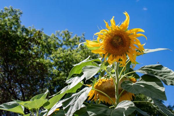 Sunflowers in the Kipps and Carling neighbourhood